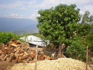 Det är en härlig känsla att plocka mango direkt från träden